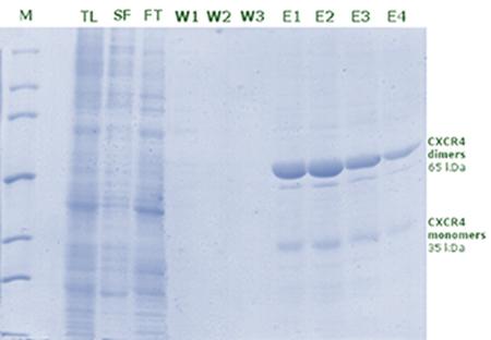 図1 【アガロースを使用したchemokine receptor 4 (CXCR4)の精製】