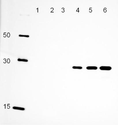 図1. 【Cube PentaHis抗体を使用したHisタグGFPのウェスタンブロットECLによる検出】