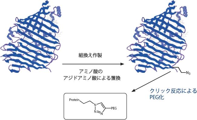 図2. 組み換えによるタンパク質へのアミノ酸の導入