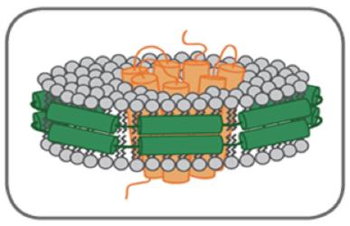 図1. 【ナノディスク中に再構成された膜タンパク質の概念図】