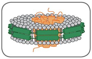 図1 【ナノディスク中に再構成された膜タンパク質の概念図】