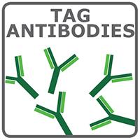 アフィニティタグ抗体