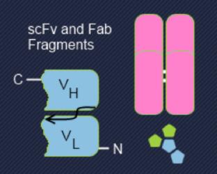 図2. scFv