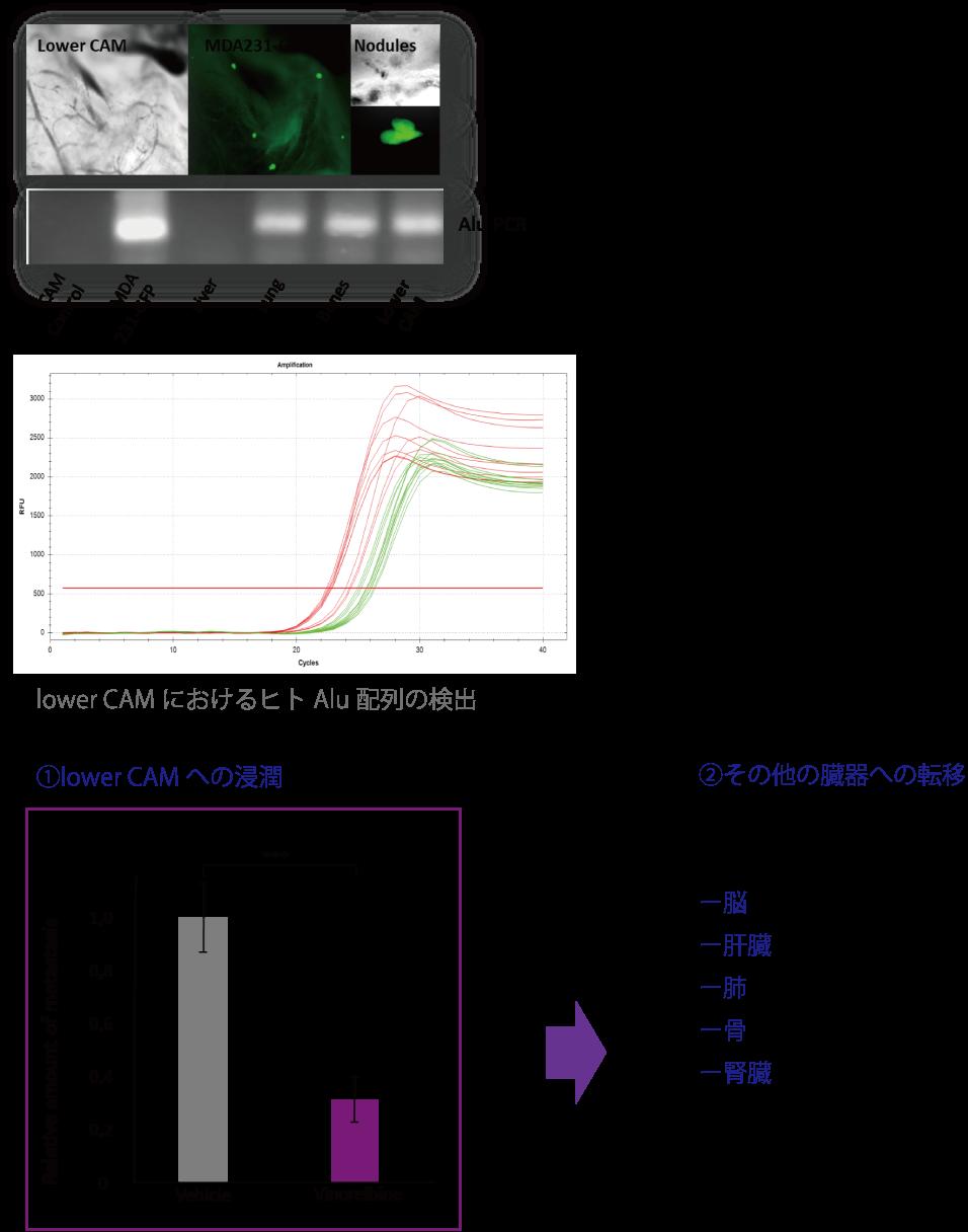 図7. がんの浸潤・転移の評価