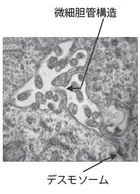 図2. PAS染色によるグリコーゲン貯蔵(左)と、胆管ネットワークの形成の確認(右)