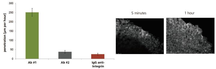 図2. 定量化した抗体浸潤速度(µm / 時)(左)、がんマイクロティッシュ内部への抗体の浸潤の例(右)。免疫染色によって5分後の初期浸潤の様子や、1時間後にさらに内部へ浸潤する様子が観察できます。