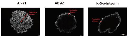 図1. Fc断片 (#1)、IgG (#2)、およびコントロール用抗インテグリン抗体(#3)と1時間インキュベートした後の3D InSight™がんマイクロティッシュ断面の染色画像。抗体は白く染色されています。