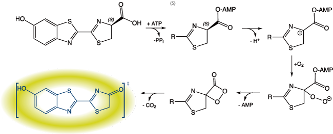 図3. セレンテラジンの発光