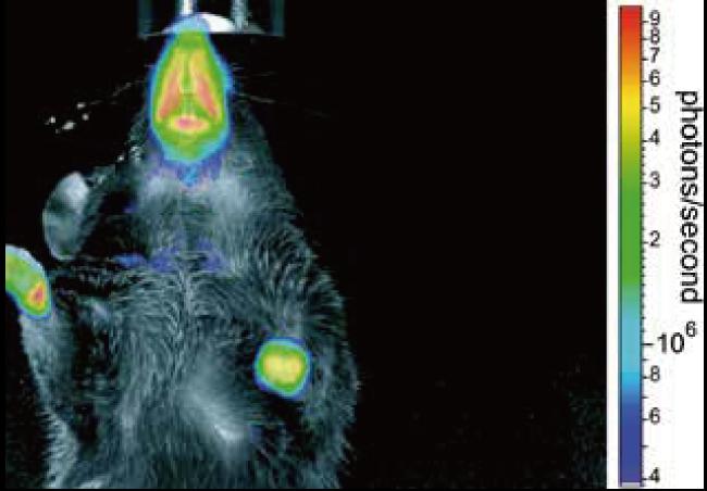 図2. Egr - 1 LUCトランスジェニックマウスでのルシフェラーゼ活性