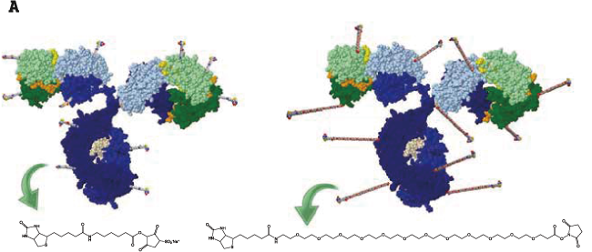 図1. ビオチン標識抗体の略図