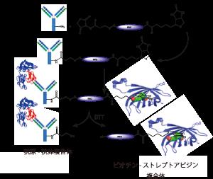 図2. ビオチン-PEG-SS-NHSによる一次抗体標識