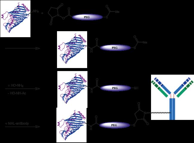 図2. チオエステル-PEGカルボン酸を用いたコンジュゲート合成