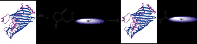 図1. 末端アミンとNHSの反応