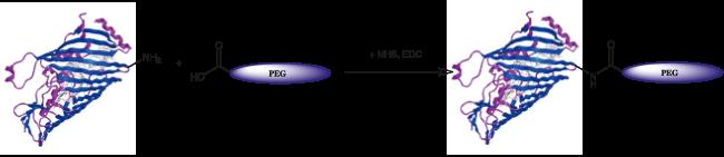 図2. PEG-COOHのNHSとEDCでの活性化