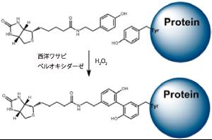 図1. タンパク質のビオチン化