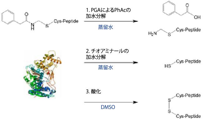 図1. PGAによるPhAcの加水分解から連続した反応