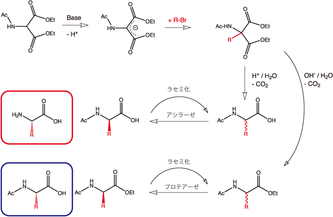 図1. アセトアミドマロン酸を経由する合成法