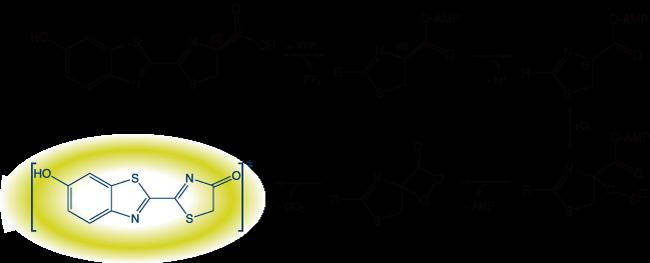 ルシフェラーゼの生物発光