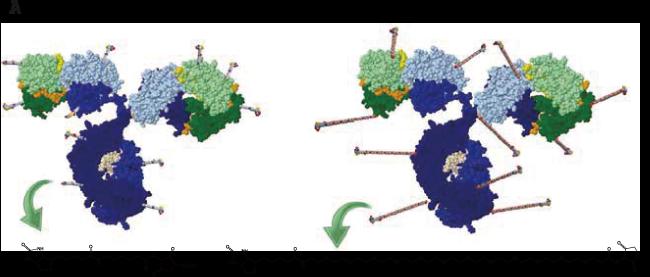 ビオチン標識抗体の略図