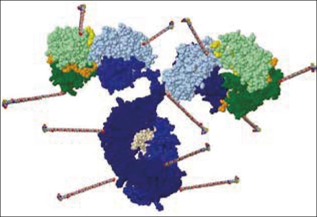 ビオチン-抗体コンジュゲート