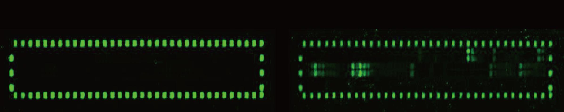 図1. カシューナッツタンパク質Ana o3配列由来のオーバーラッピングペプチドを配置したPEPperCHIP™ペプチドマイクロアレイ