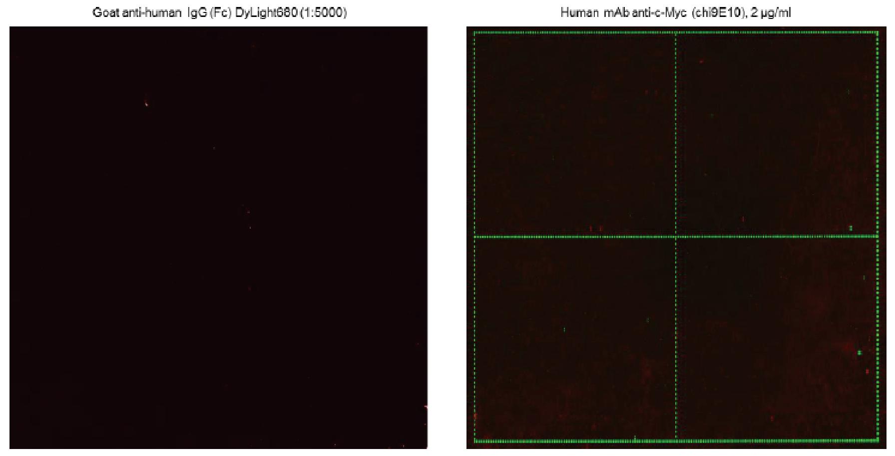 図1. 抗ヒトIgG2次抗体によるコントロール実験(左)と抗c-Myc抗体とインキュベーション後に2次抗体で染色した結果(右)