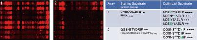 c-Srcによる2 種類のペプチド由来配列のリン酸化