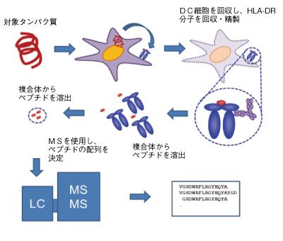 図1. 抗原提示アッセイの順序