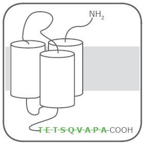 図1 Rho1D4タグを付加した3回膜貫通型の膜タンパク質