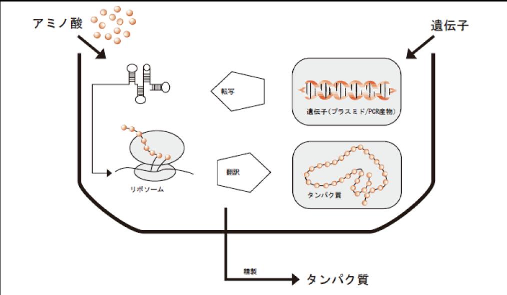 図1. 無細胞系を用いた安定同位体ラベルタンパク質合成の模式図